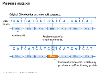 This figure shows an example of a missense mutation in a gene.  The DNA codes for an amino acid sequence.  When a change in the DNA base occurs (the A is replaced by a C in this example), an incorrect amino acid is made, which leads to abnormal protein structure and function.