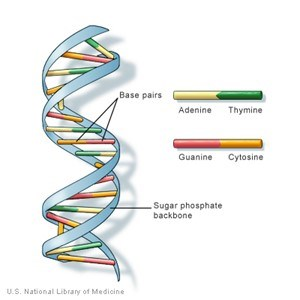 This images shows the structure of DNA. The sugar phosphate backbone and the base pairs ladders of the DNA structure are shown. The image also shows the make-up on latters, with adenine and thymine sharing one ladder and guanine and cytosine sharing the others.